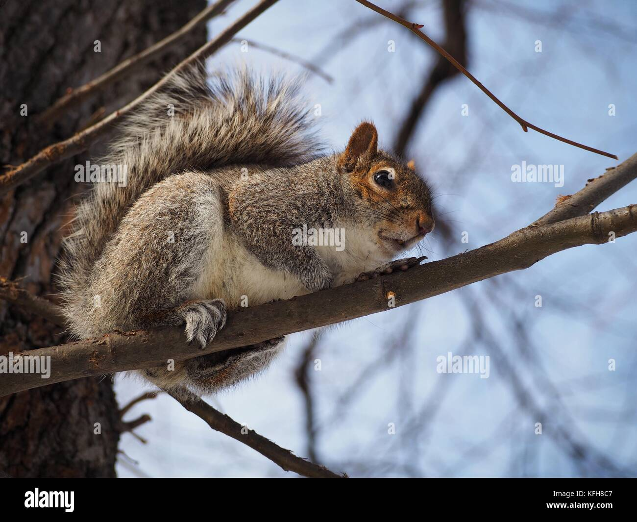 Eastern grey squirrel sitting on a tree, from below - Stock Image