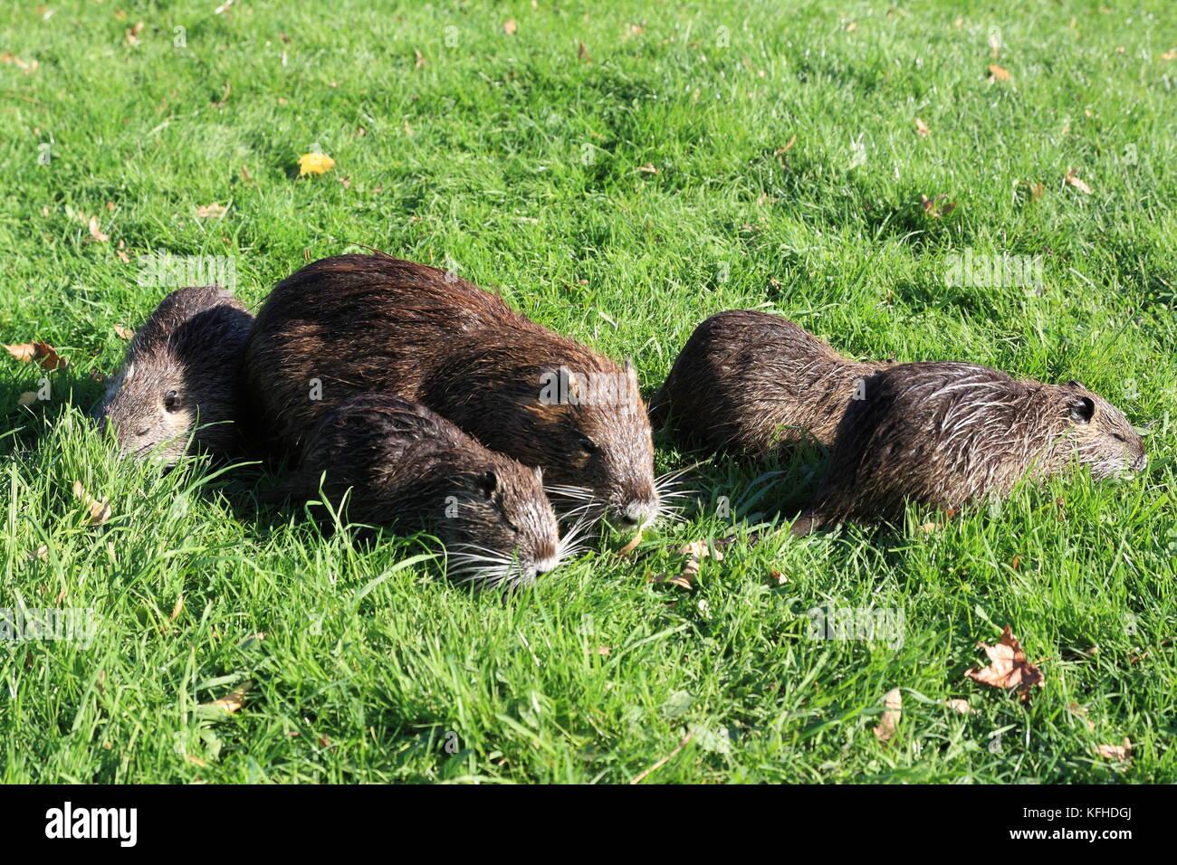 Nutria, Coypu, Biberratte, Sumpfratte auf der Wiese mit Jungtieren Stock Photo
