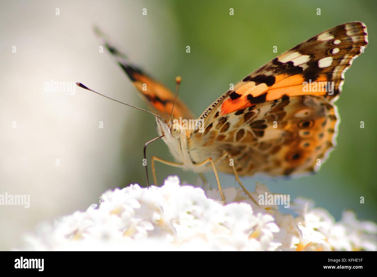Distelfalter, Schmetterling auf Sommerflieder Blüte - Stock Image