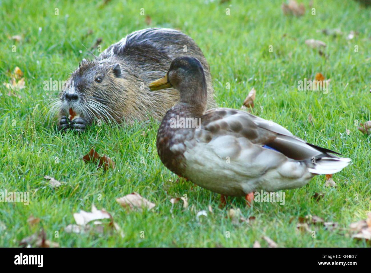 Ente trifft Nutria Biberratte auf der Wiese Stock Photo