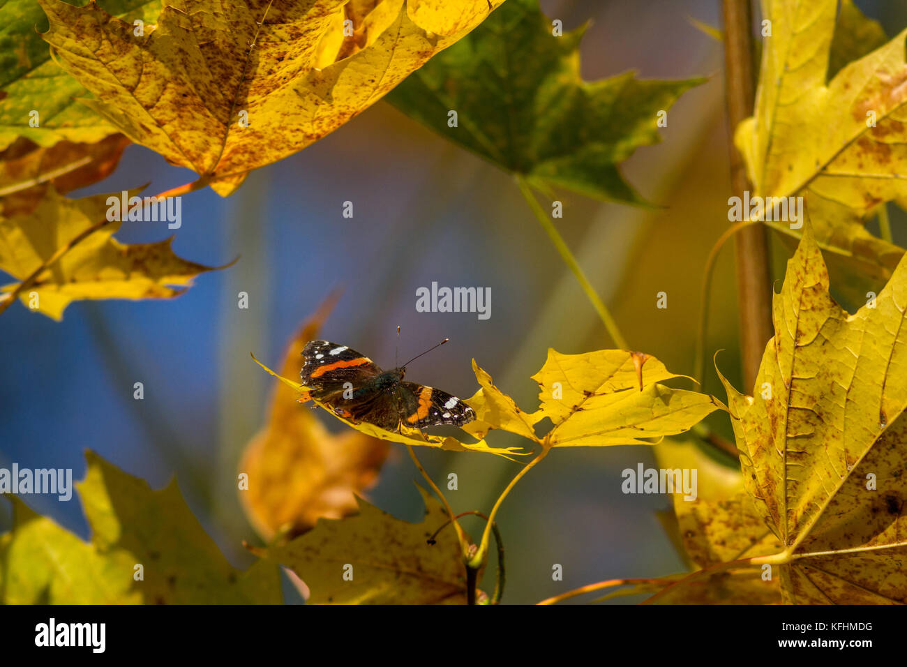 Ilkley, West Yorkshire, UK. 29th Oct, 2017. UK Weather. Red admiral butterfly warming up on autumn leaves in the - Stock Image