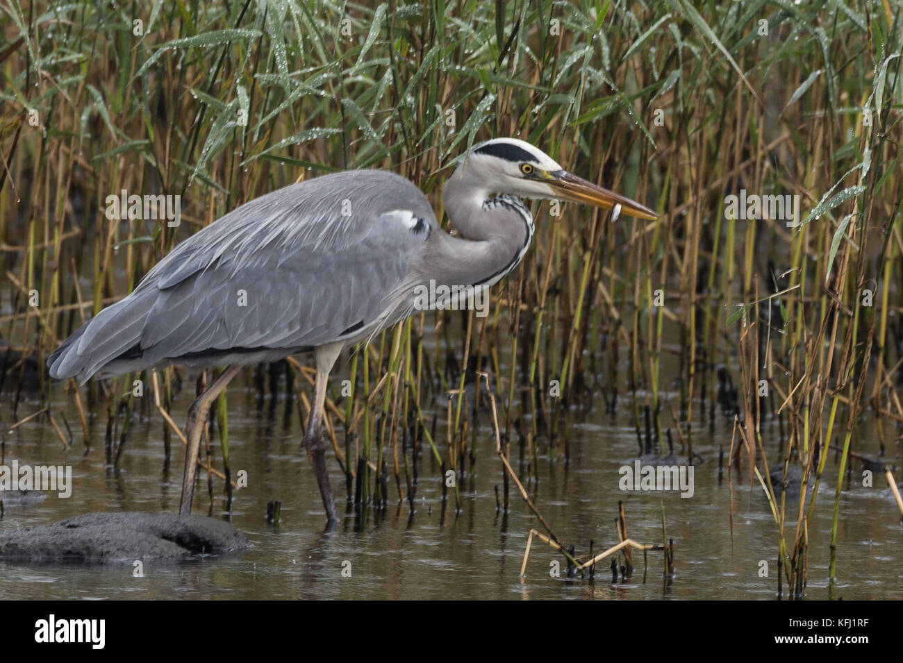 Grey Heron feeding on Lough Neagh in Northern Ireland.Herons are large, striking birds often spotted standing motionless - Stock Image