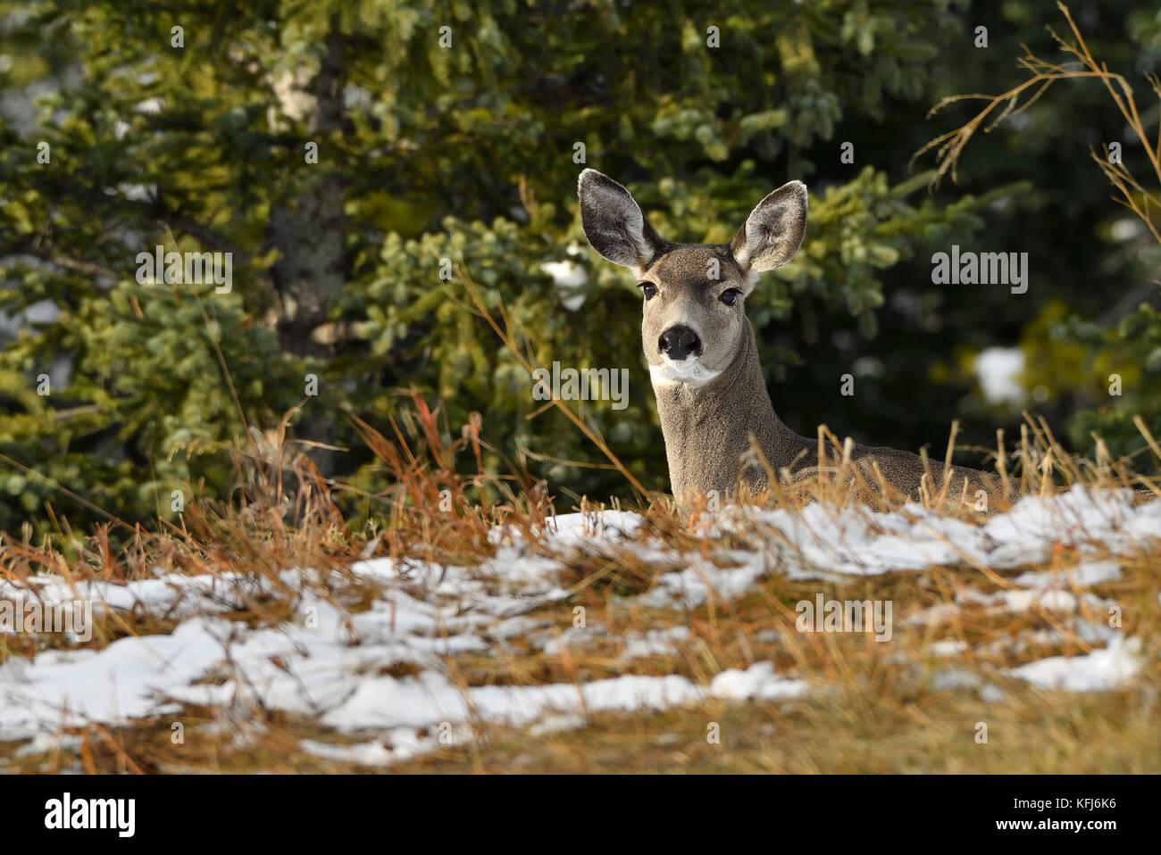 A female mule deer (Odocoileus hemionus); looking over a ridge near Cadomin Alberta Canada - Stock Image