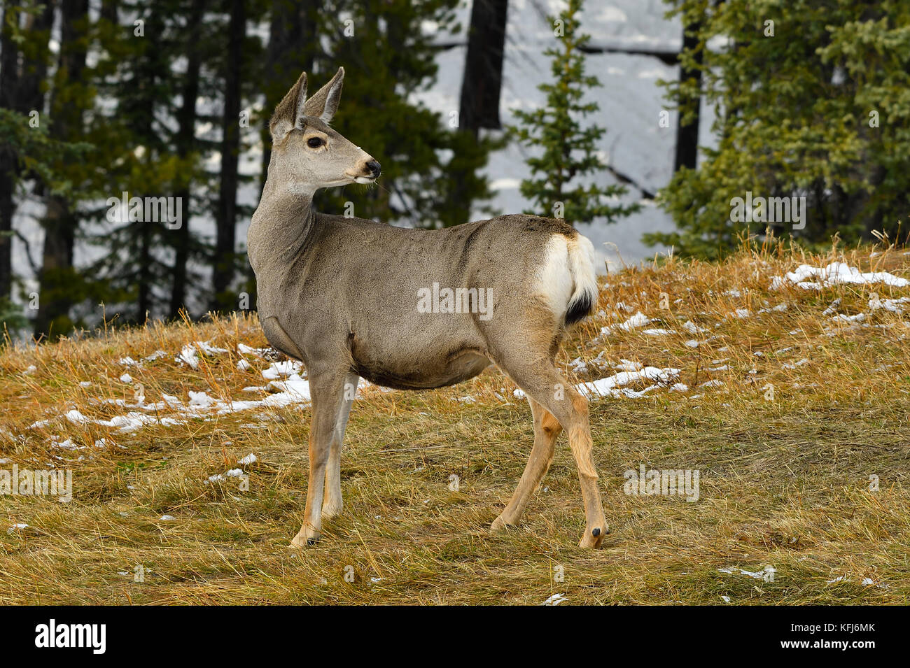 A female mule deer (Odocoileus hemionus); looking back over her shoulder to see what is behind her near Cadomin - Stock Image