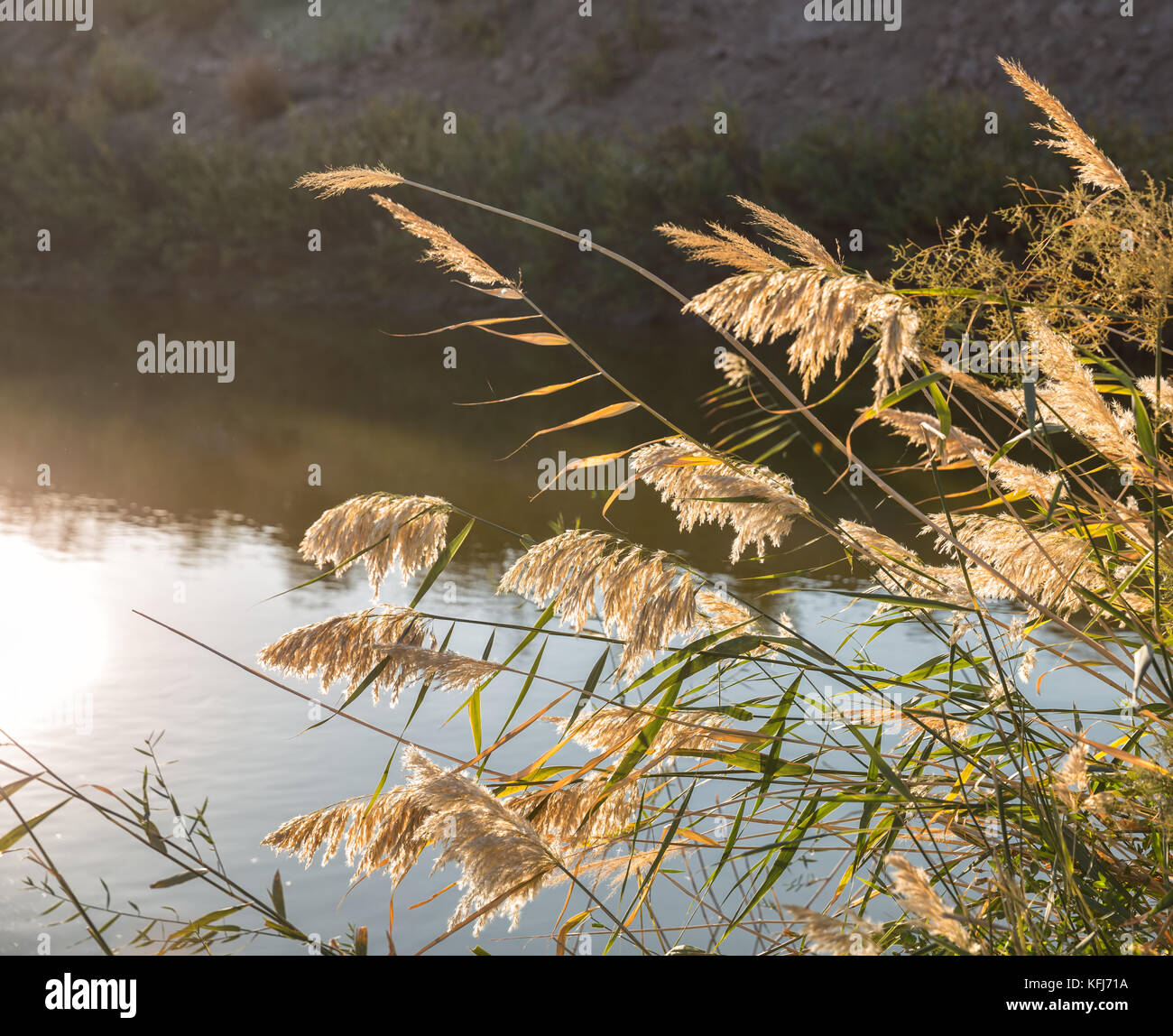 Reed sunlit bends over the surface of the water - Stock Image