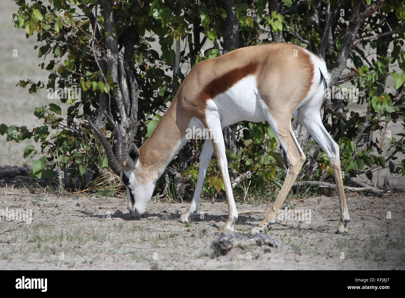 Gazelle Road Stock Photos Images Alamy Camp Roadbike Impala Red Springboks Stand Along The Side Of Eating Leading To Okaukeujo In Etosha