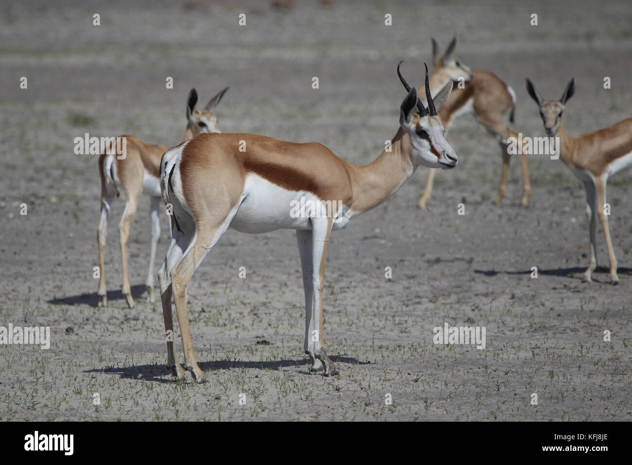 Springboks stand along the side of the road eating leading to the Okaukeujo Camp in Etosha National Park on Saturday, - Stock Image