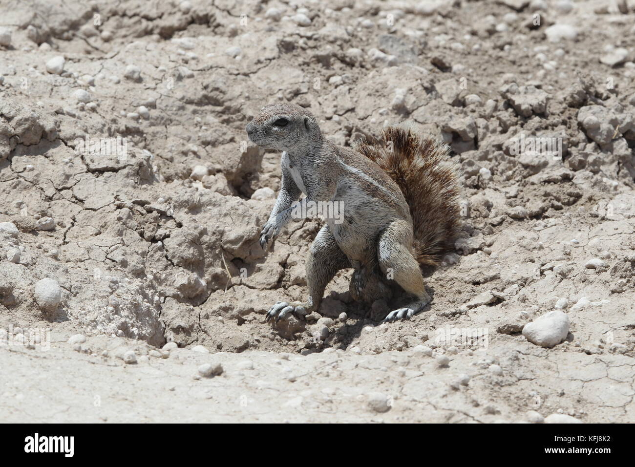 A ground squirrel pauses for a photo along the roads near Leeubron in Okaukeujo Camp in Etosha National Park on - Stock Image