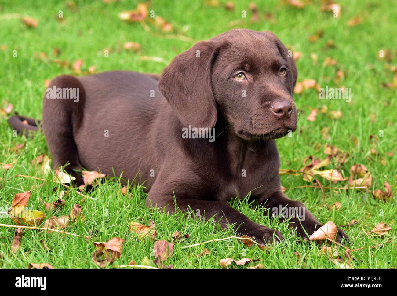 a labradinger or springador puppy dog lying down and playing in a grass field looking at the owner and undergoing - Stock Image