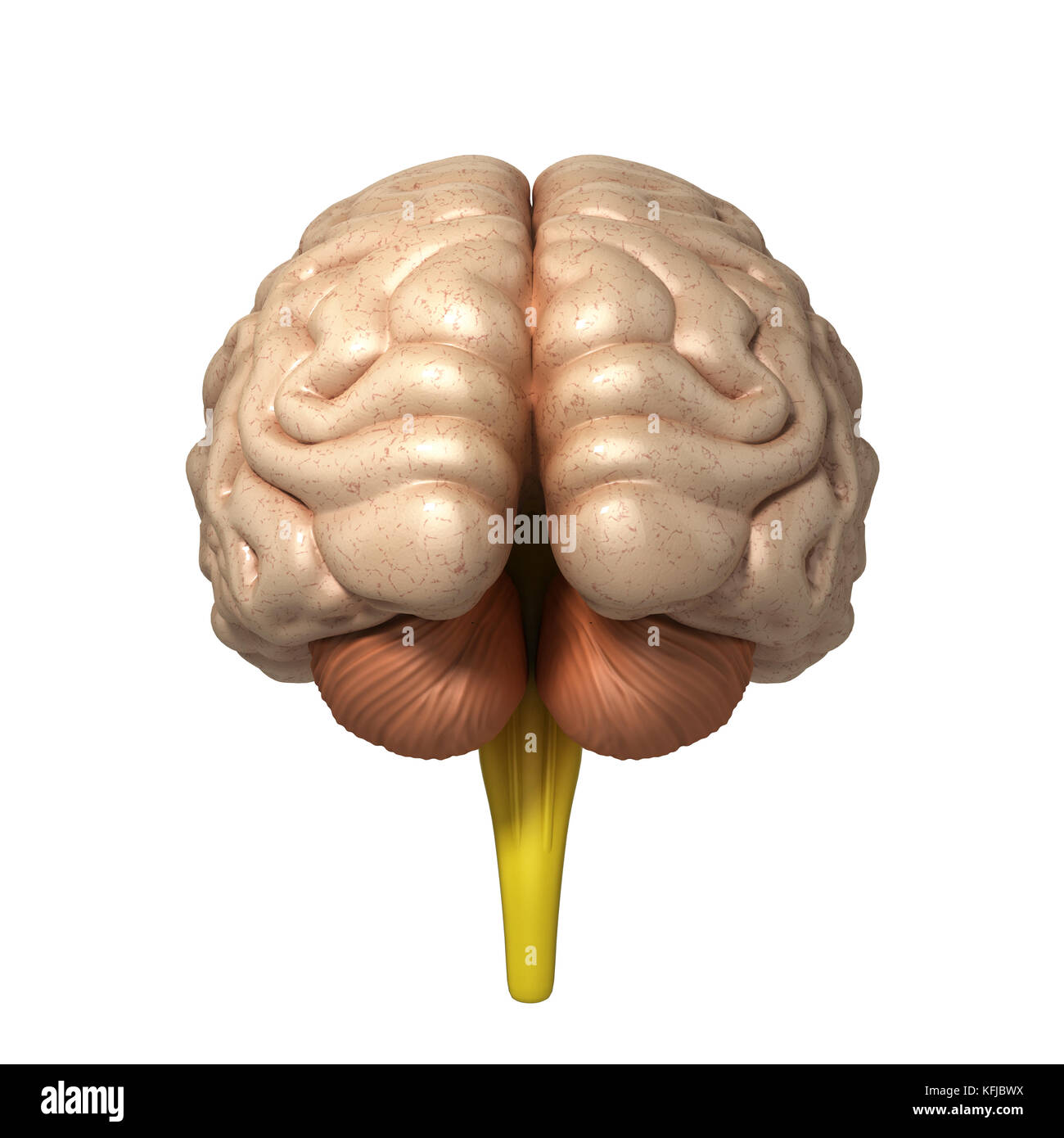 medically accurate illustration of the brain 3d render Stock Photo ...