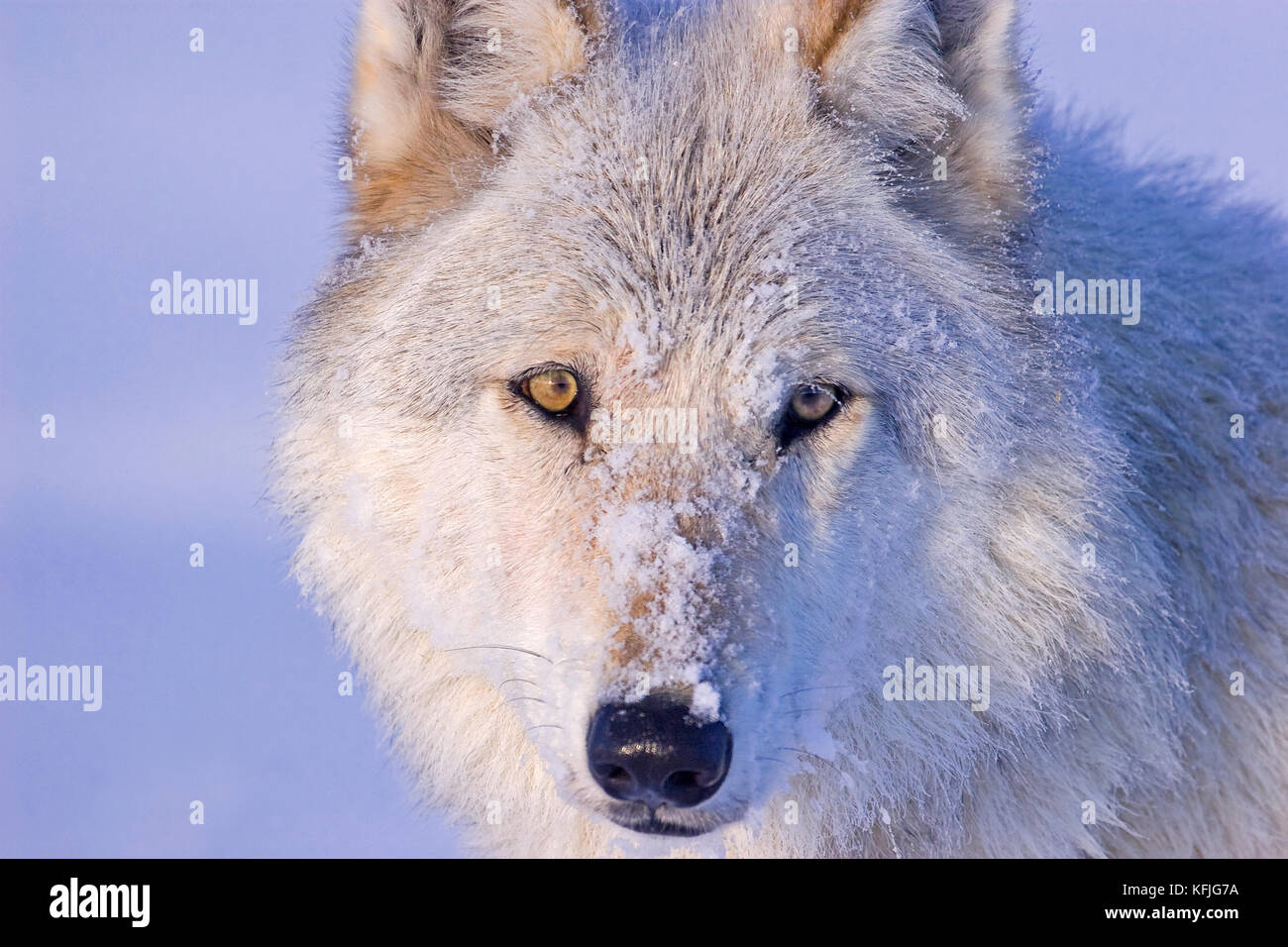 Usa yellowstone national park portrait of the white wolf 540f alpha female of the canyon pack truly wild and natural