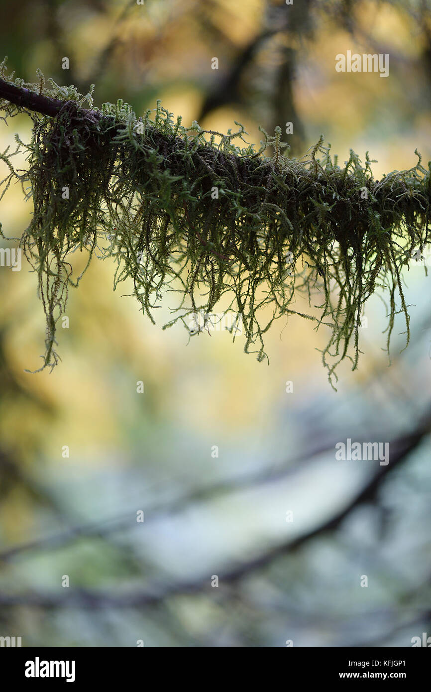 Artistic closeup of moss on a tree branch with fall nature leaves in the background. Vancouver Island, BC, Canada. Stock Photo