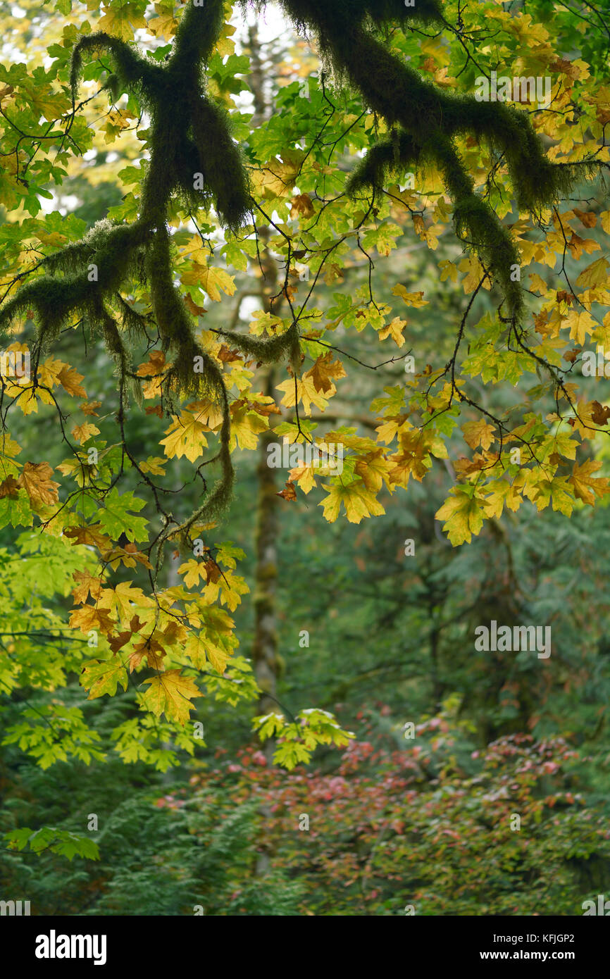 Fall leaves and mossy branches abstract fall nature scenery. Vancouver Island, British Columbia, Canada. Stock Photo