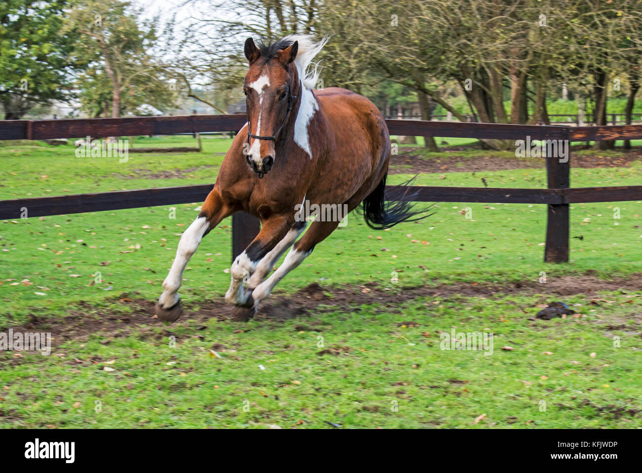 Pinto horse / Quarter Horse stallion running outside in field within wooden enclosure - Stock Image