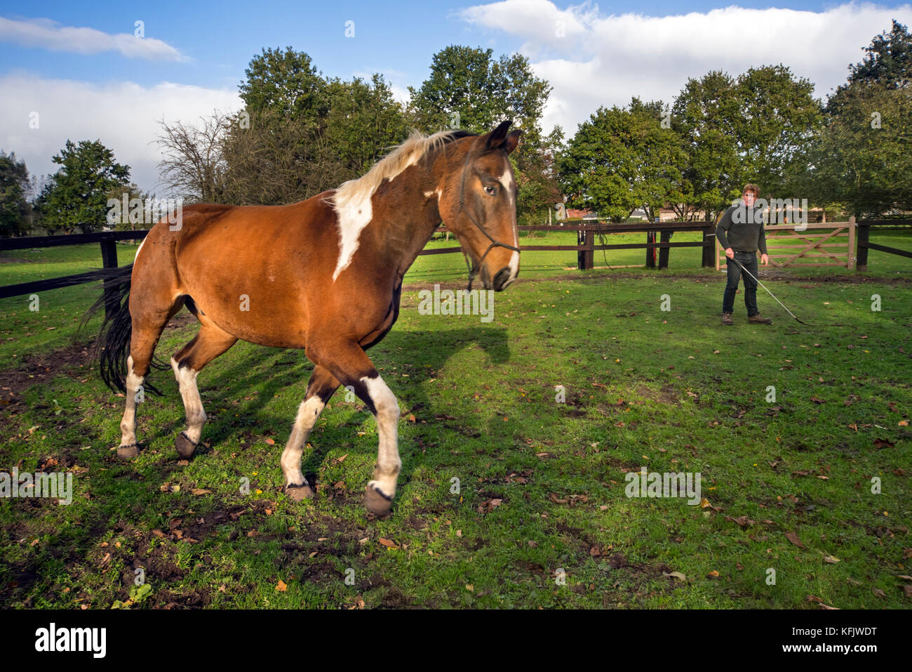 Horse trainer training Pinto horse / Quarter Horse stallion trotting outside within wooden enclosure - Stock Image