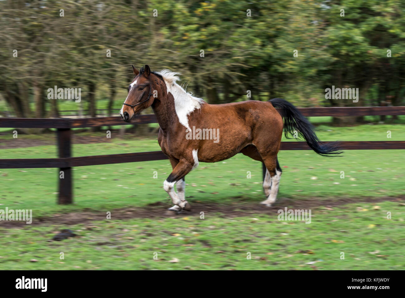 Motion blurred image of Pinto horse / Quarter Horse stallion running outside in field within wooden enclosure - Stock Image