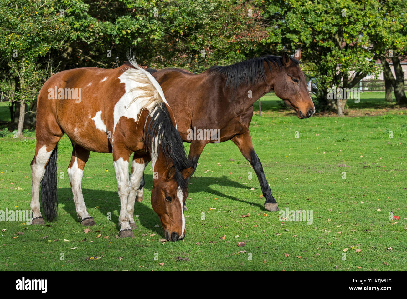 Pinto horse / Quarter Horse stallion and Belgian Warmblood mare outside in field - Stock Image