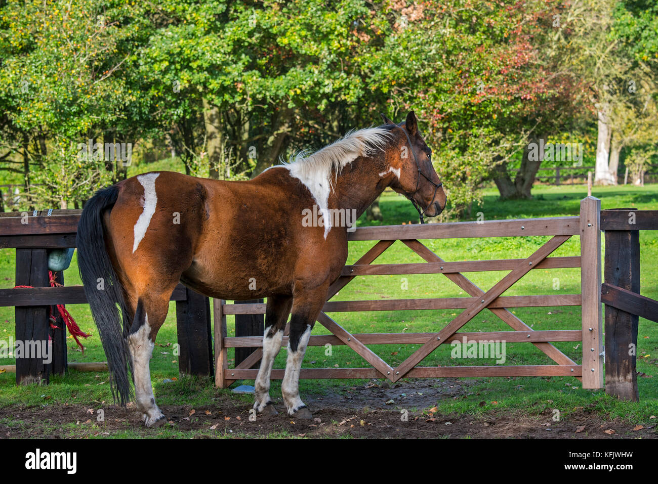 Pinto horse / Quarter Horse stallion outside in field within wooden enclosure - Stock Image
