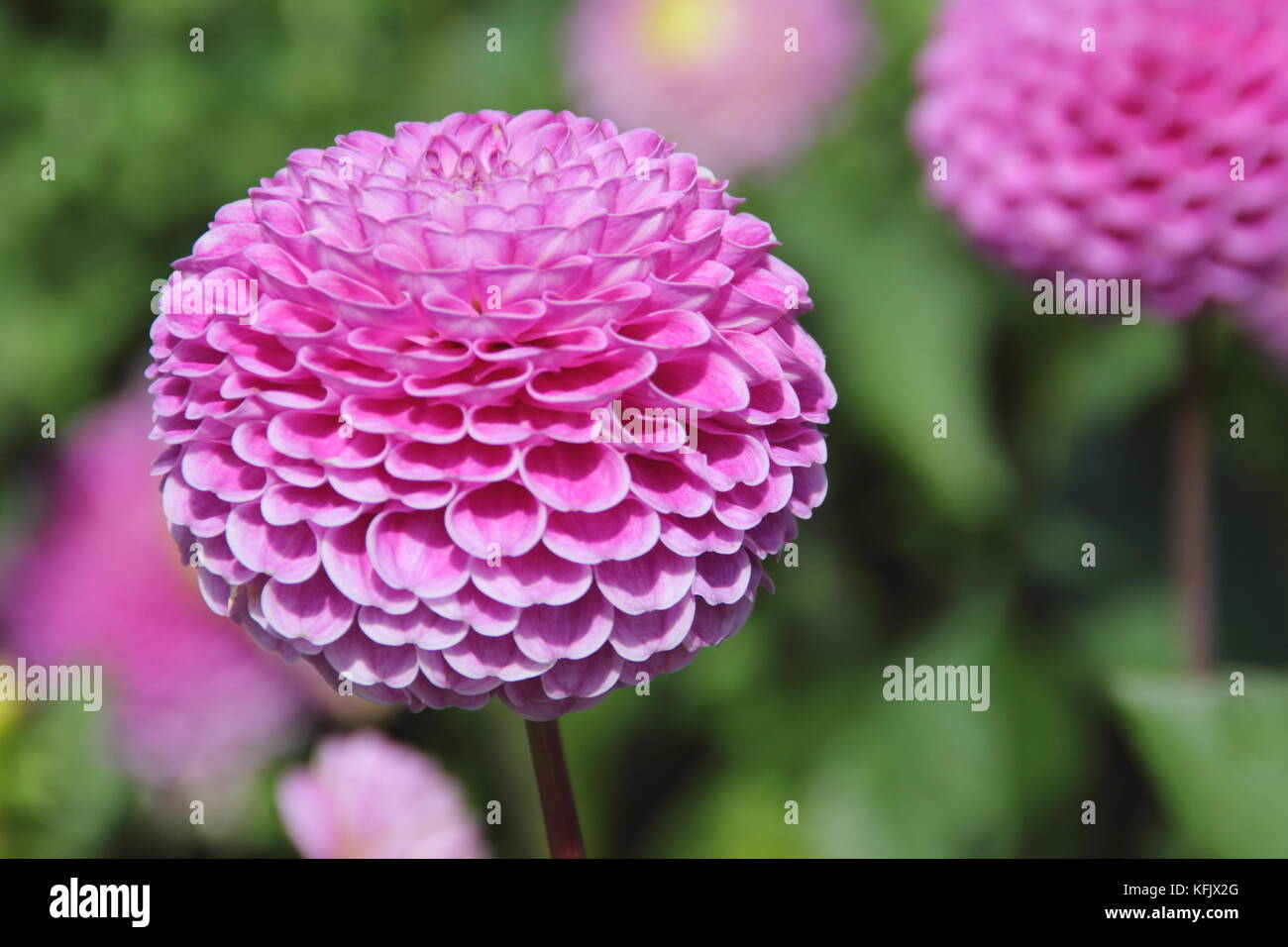 Dahlia 'Wizard of Oz', a pompom dahlia, blooming in an English garden border in summer (August), UK - Stock Image
