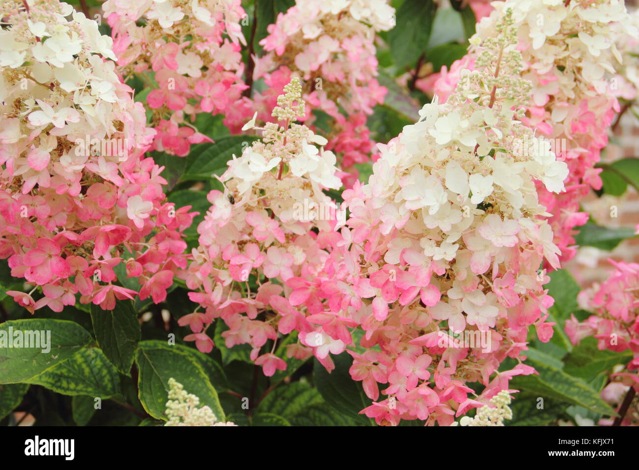 Showy cream and pink flowers (panicles) of Hydrangea paniculata 'Pinky Winky blooming in an English garden in - Stock Image