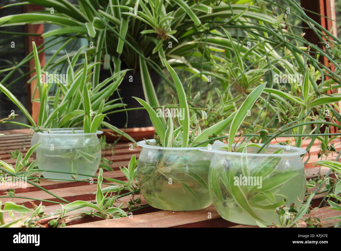 Propagating spider plants from runners (stolons) by placing in water to encourage root growth in baby plants (plantlets), - Stock Image