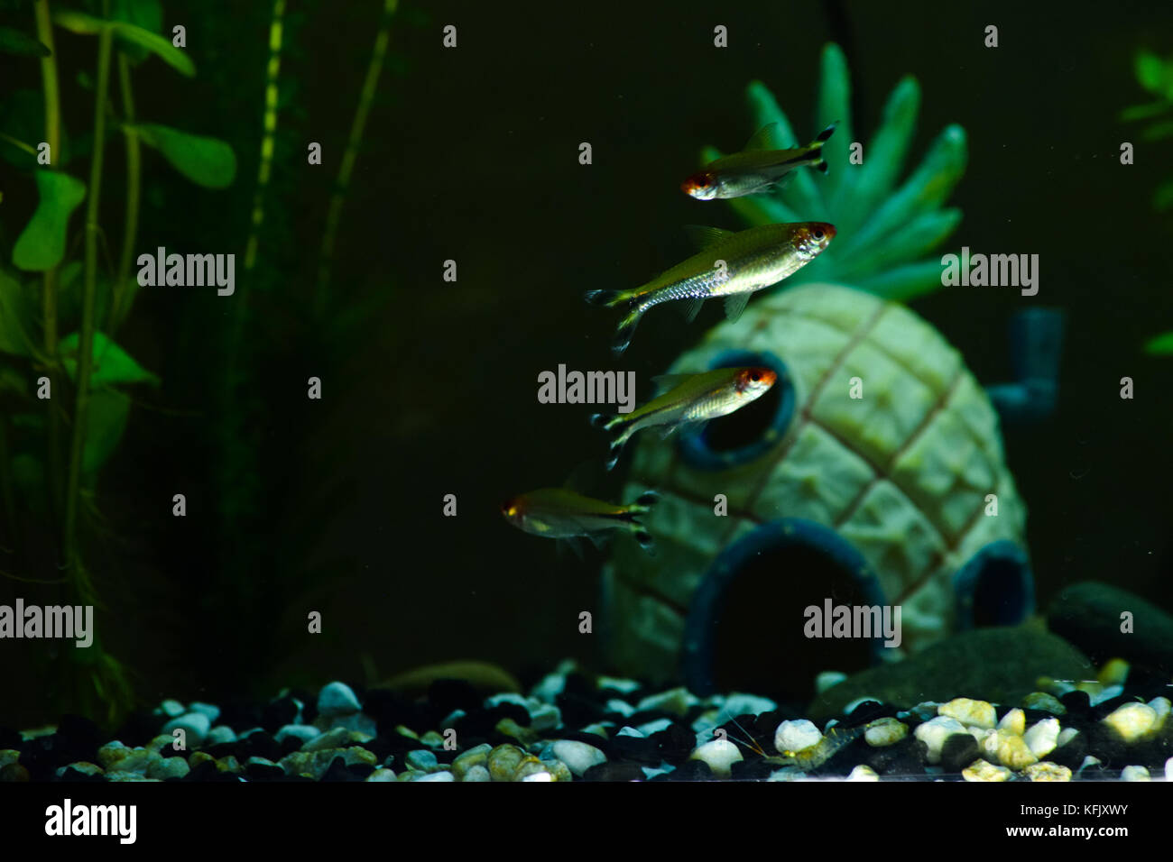 A school of  Rummy-nose Tetra and one Ghost Shrimp in their 55 gal. tropical aquarium home. - Stock Image