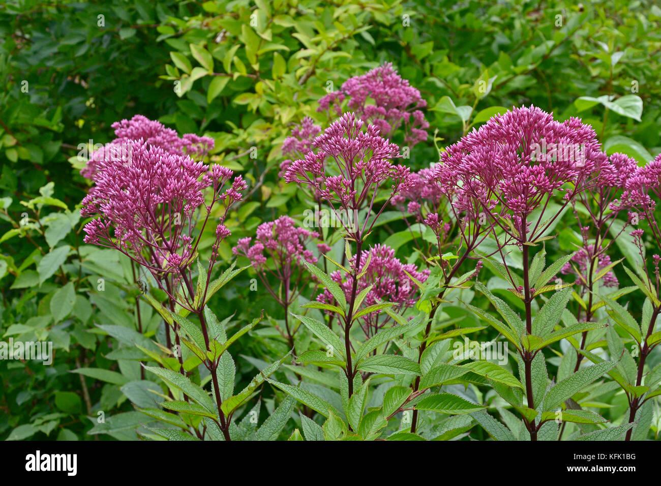 Eupatorium dubium 'Baby Joe' in a flower border - Stock Image