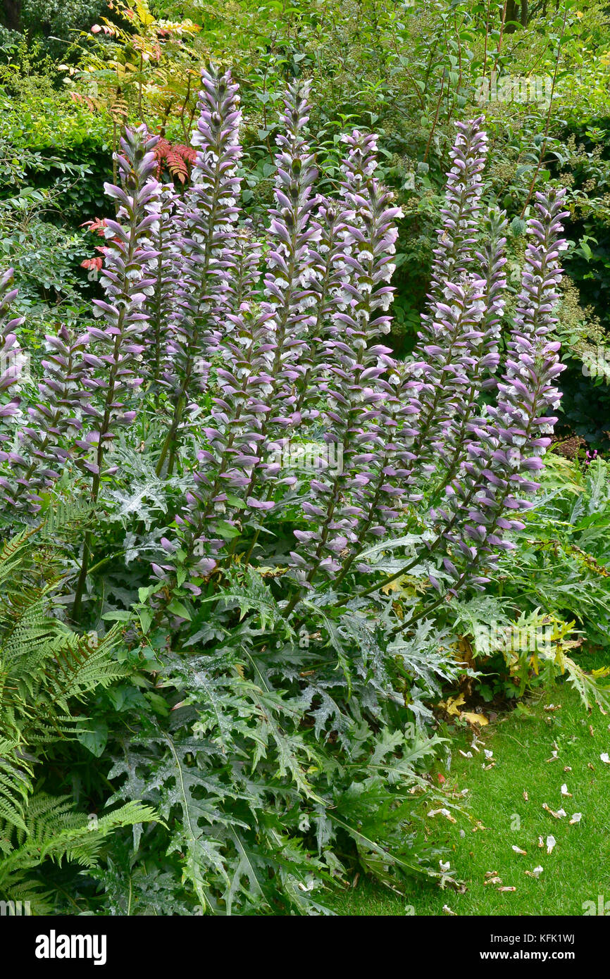 Acanthus Spinosus In A Flower Border Of A Cottage Garden Stock Photo