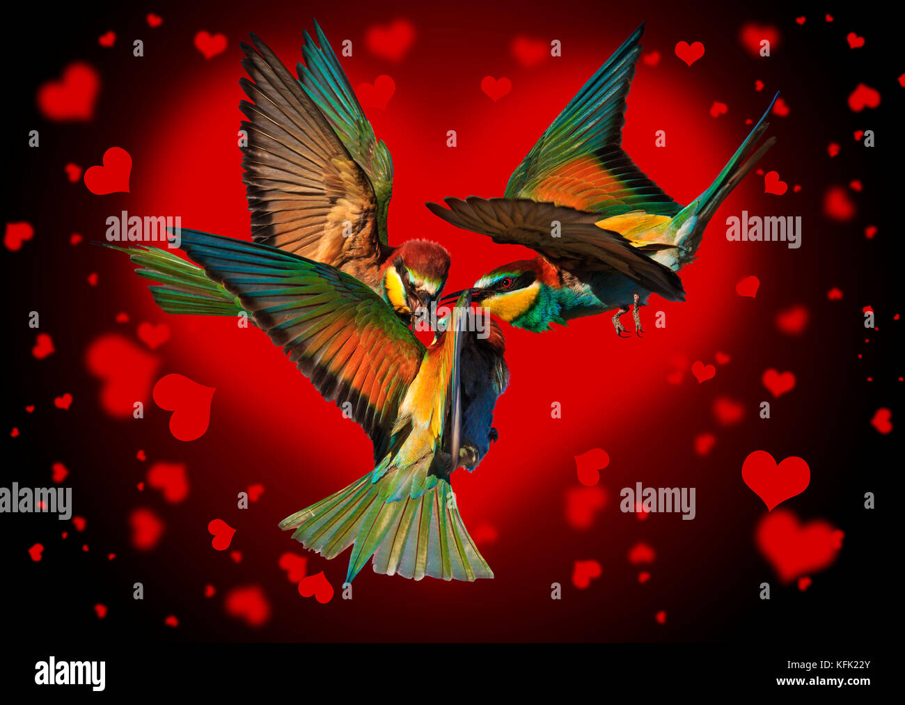 love triangle of birds fighting on the black background of the hearts - Stock Image