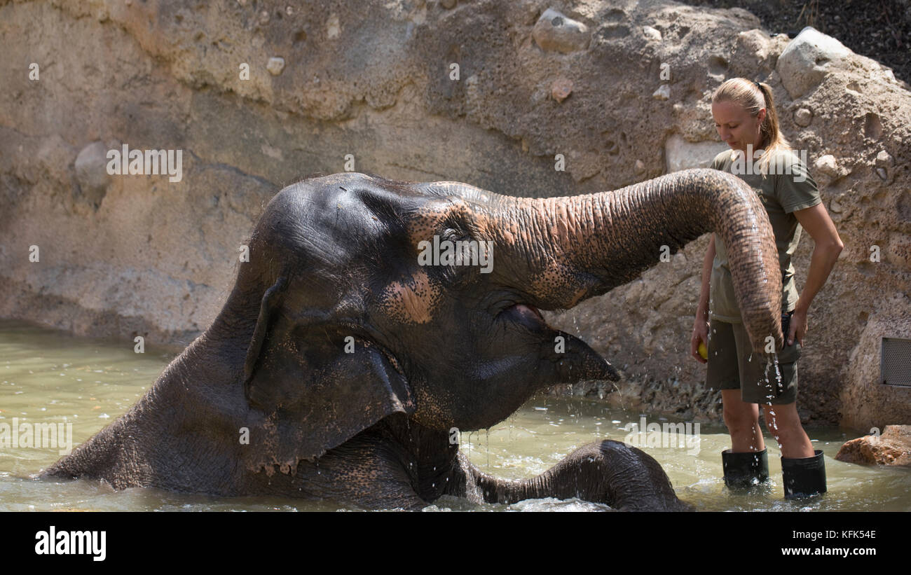 Female Zoo-keeper feeding an elephants apples in captivity, Spain - Stock Image
