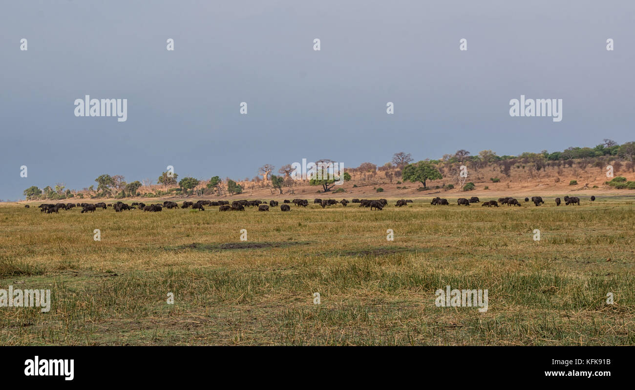 A herd of African Buffalo grazing on Namibian flood plains at dusk Stock Photo
