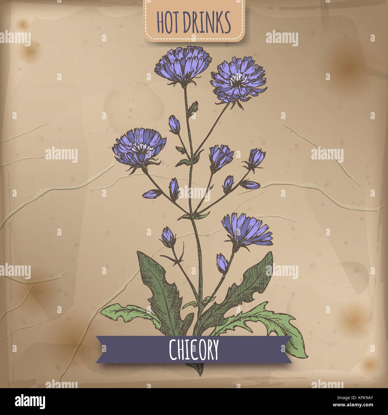 Cichorium intybus aka common chicory color sketch. Used as coffee substitute. - Stock Image
