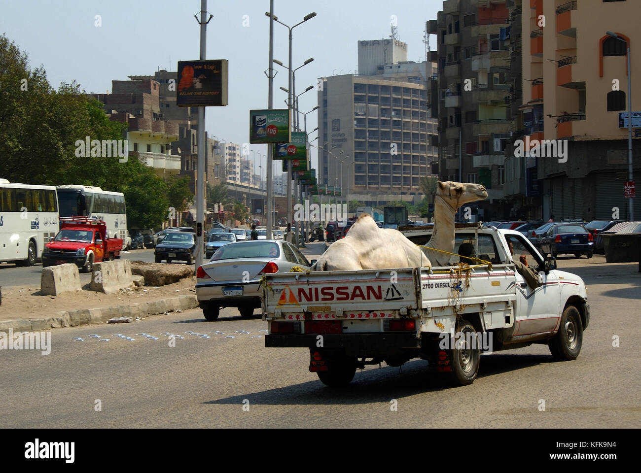 EGYPT, CAIRO - SEPTEMBER 19, 2010: a white camel with kind eyes is transported in the back of a pickup truck along - Stock Image