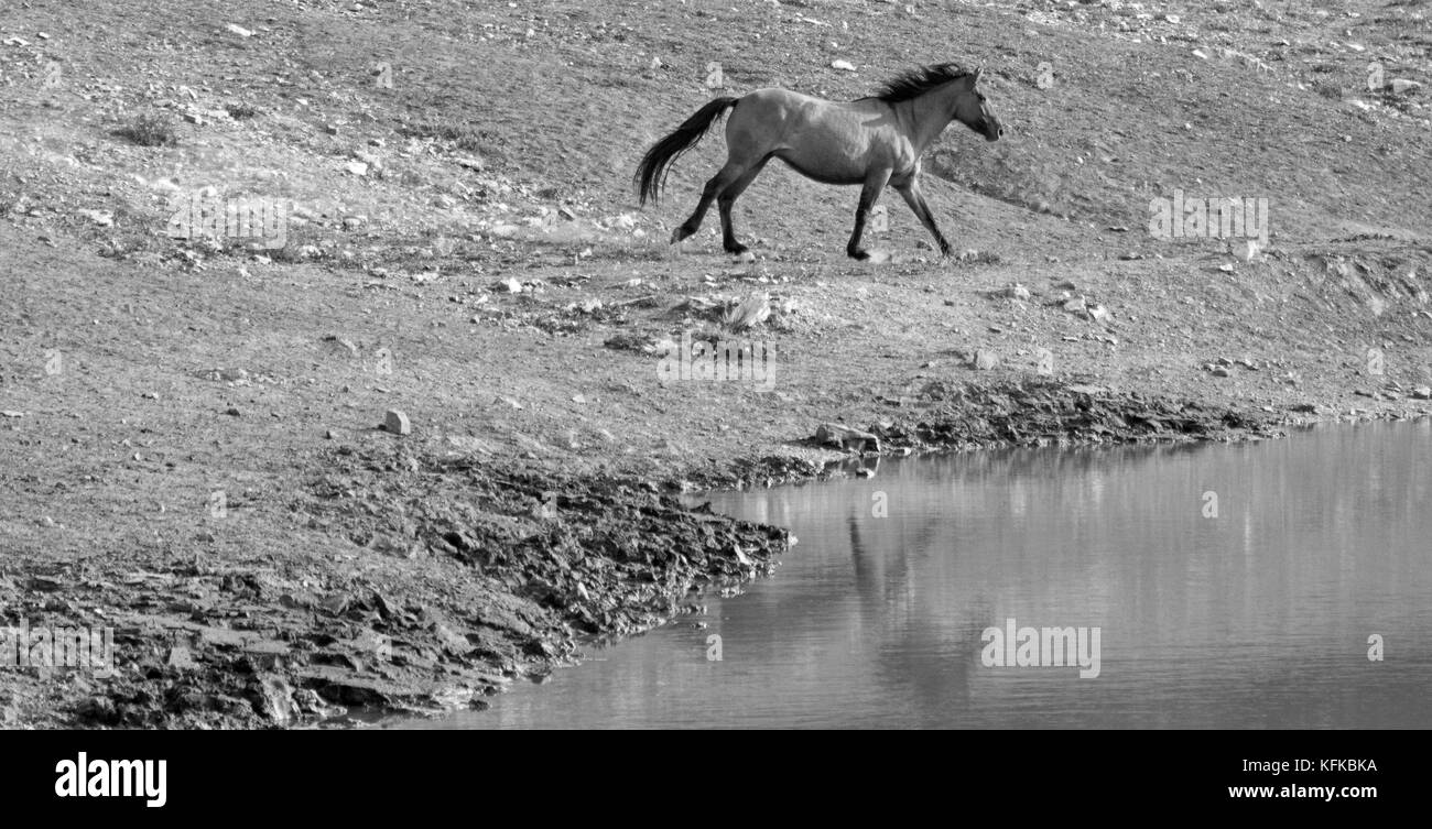 Bay Dun Buckskin Stallion wild horse running next to water hole in the Pryor Mountains Wild Horse Range on the state - Stock Image