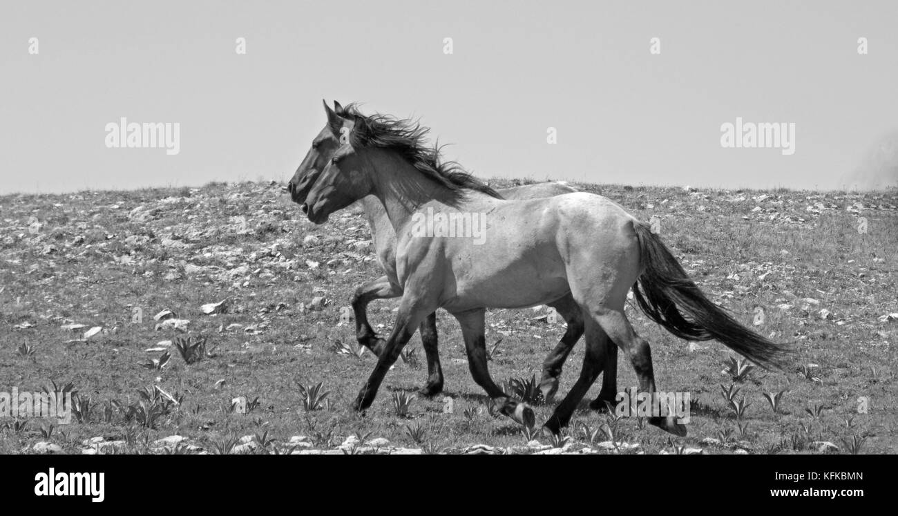 Wild Horse herd of mustangs running in the Pryor Mountains of Montana USA - Stock Image