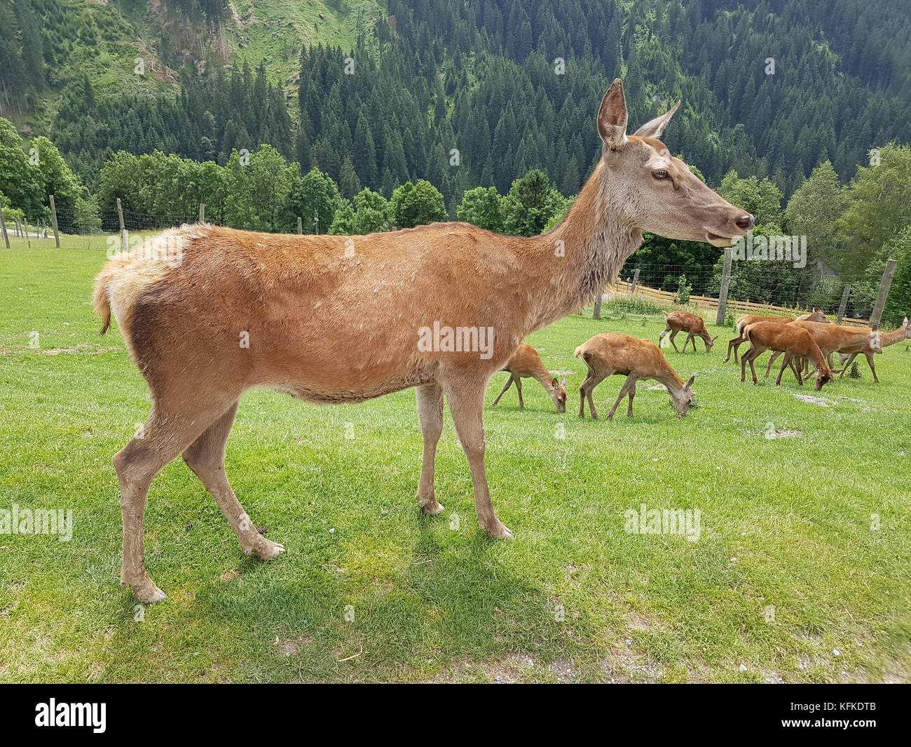 Rothirsch, Cervus elaphus, Rotwild, Hirsch Stock Photo