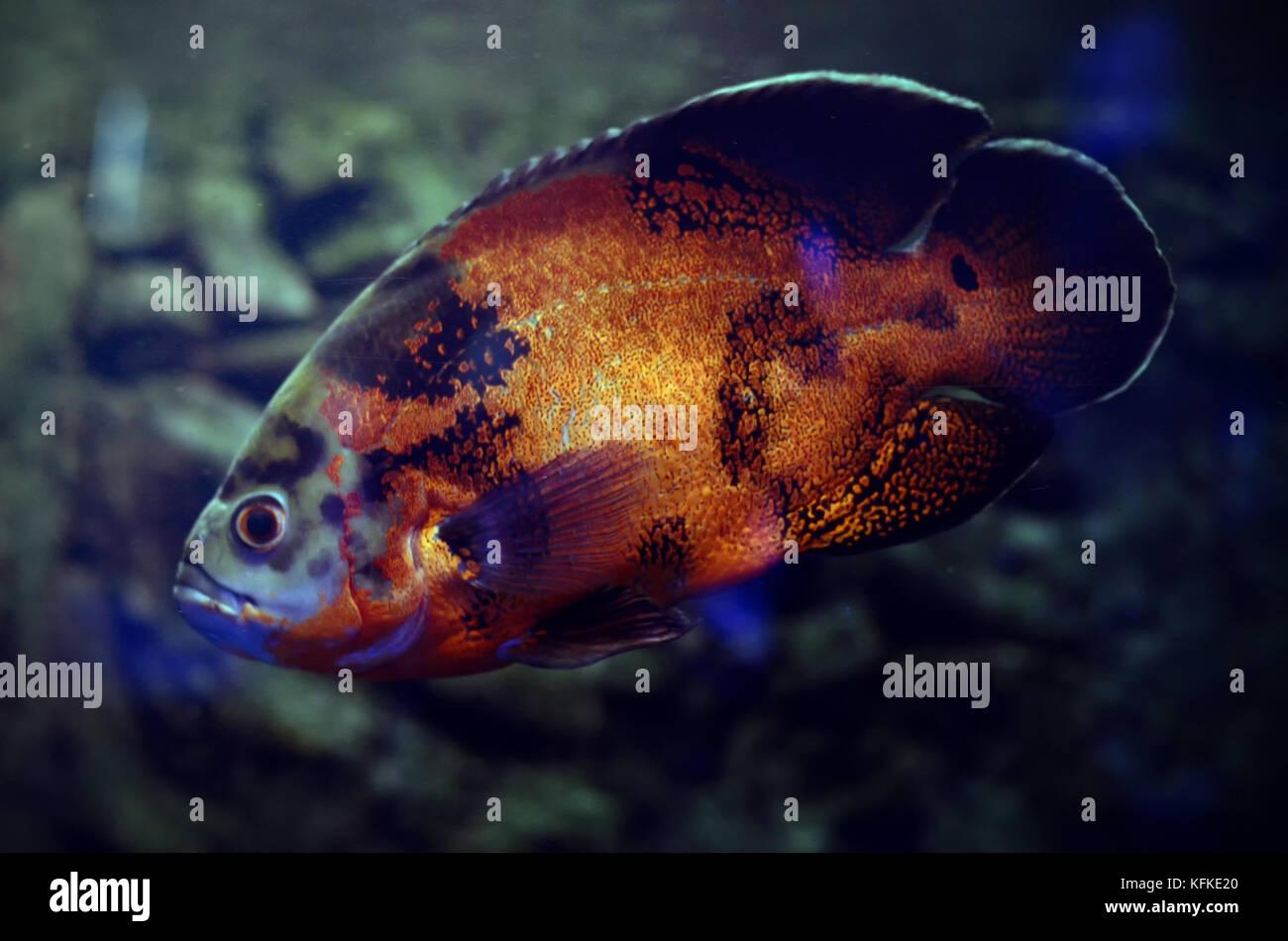 Oscar Fish In Dark Aquarium Water South America Amazon River Fish
