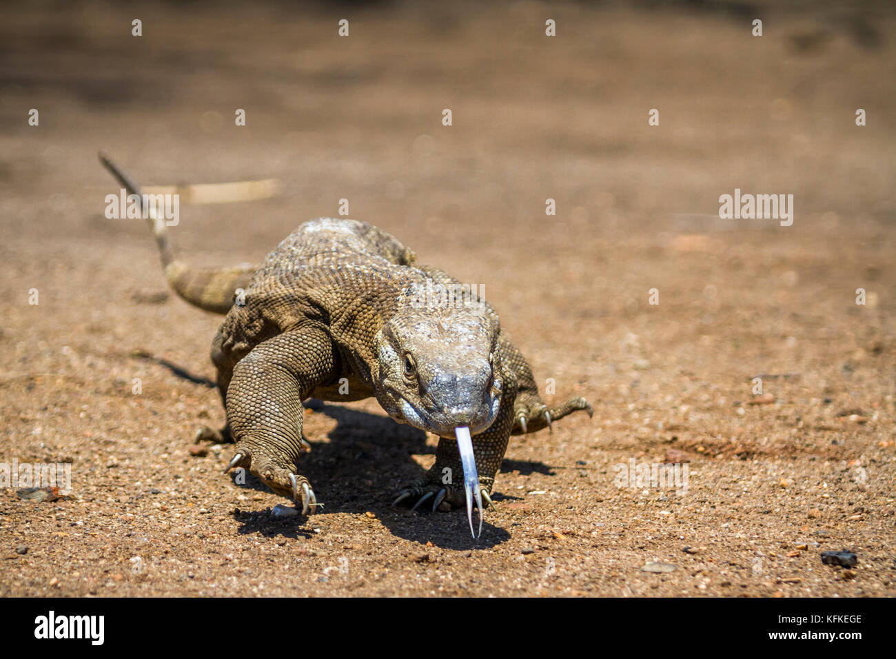 Nile monitor lizard in Kruger national park, South Africa ; Specie Varanus niloticus family of varanidae Stock Photo