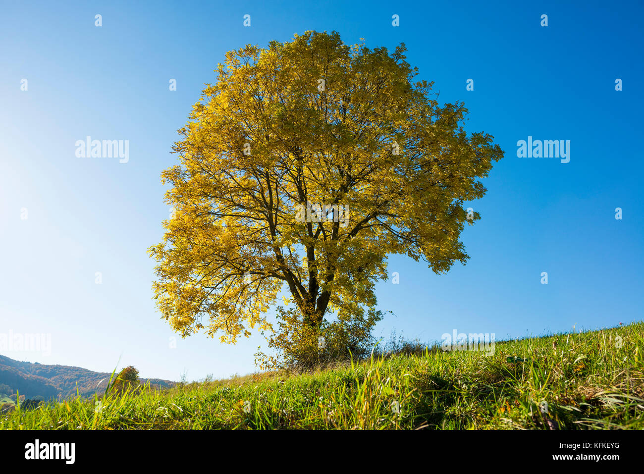 European ash (Fraxinus excelsior), solitary tree in autumn, Rhön Biosphere Reserve, Hesse - Stock Image