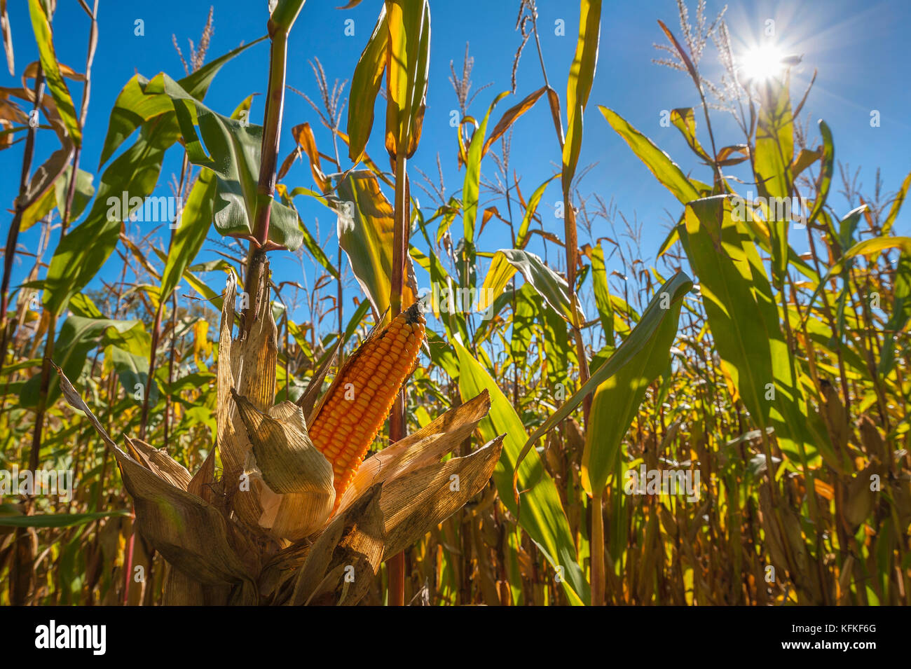 Cultivation of fodder maize, yellow piston (Zea mays) also , Oberbayern, Bavaria, Germany - Stock Image