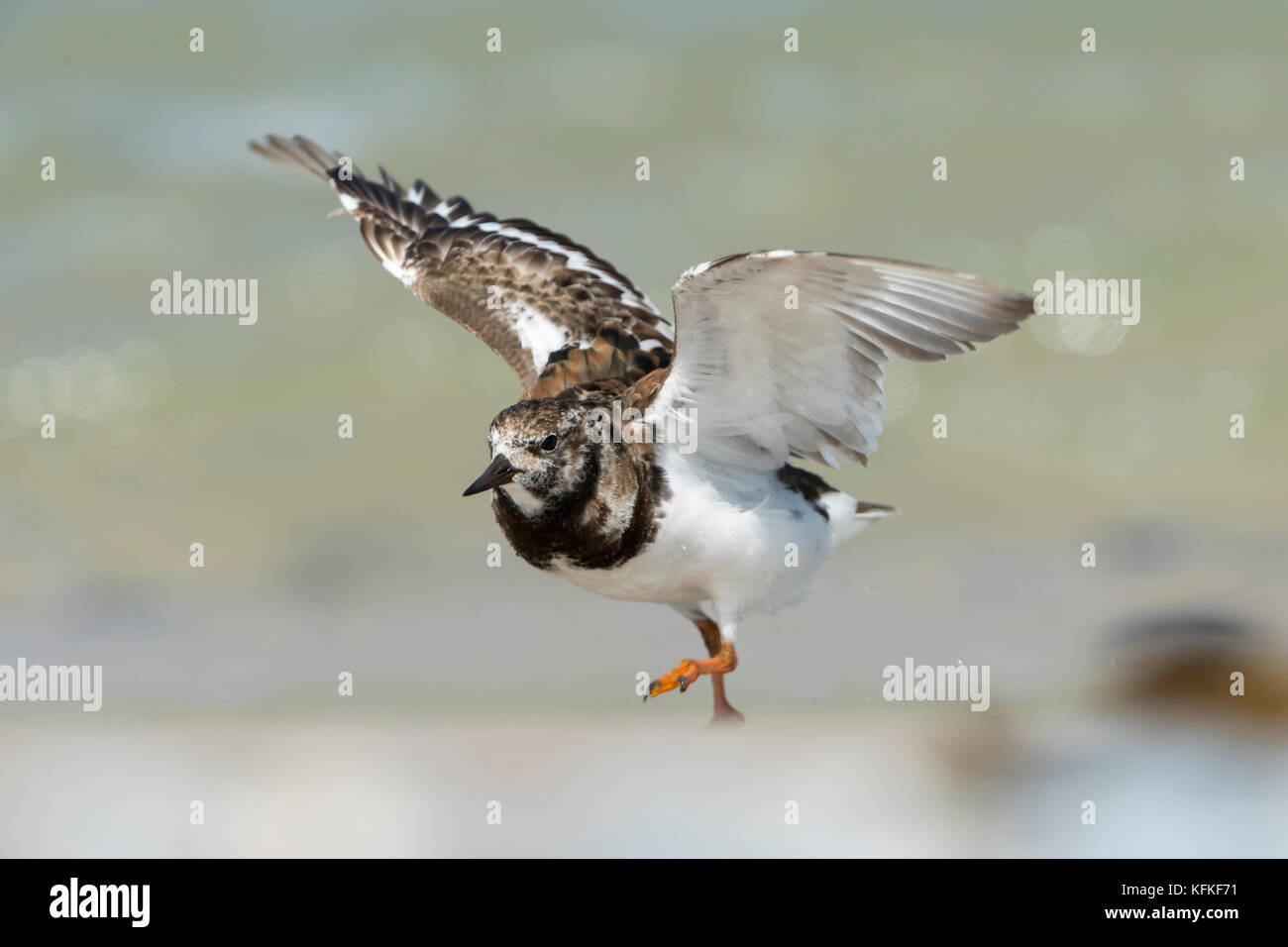 Ruddy turnstone (Arenaria interpres) with extended wings, at take-off, Helgoland, Schleswig-Holstein, Germany - Stock Image