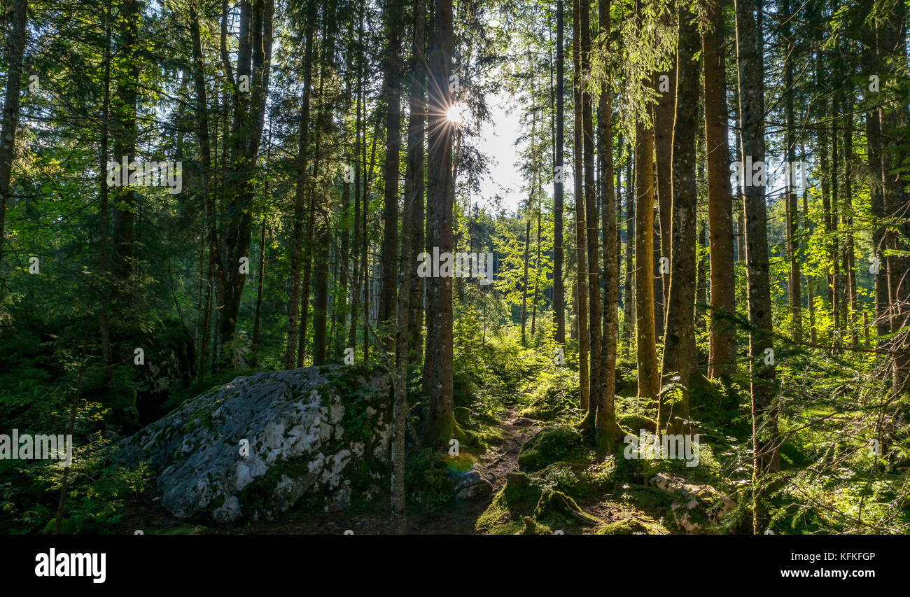 Sun shines through the forest, magic forest, Ramsau, Berchtesgaden National Park, Berchtesgadener Land, Upper Bavaria, - Stock Image