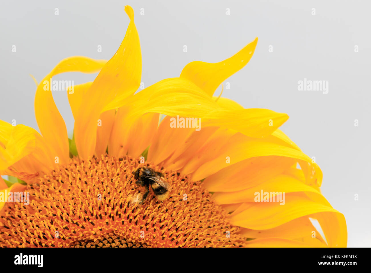 Bee feeding on nectar from a sunflower - Stock Image