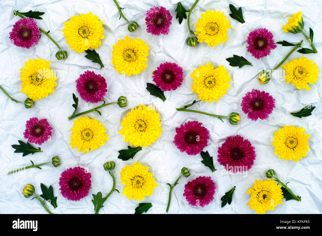 Burgundy and yellow chrysanthemum on crumpled gray paper background. Floral Pattern. - Stock Image