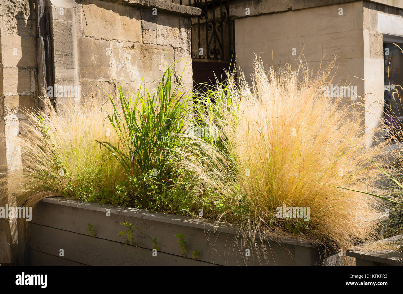 Ornamental grasses provide an attractive natural screen from the road in Bradford on Avon Wiltshire England UK - Stock Image