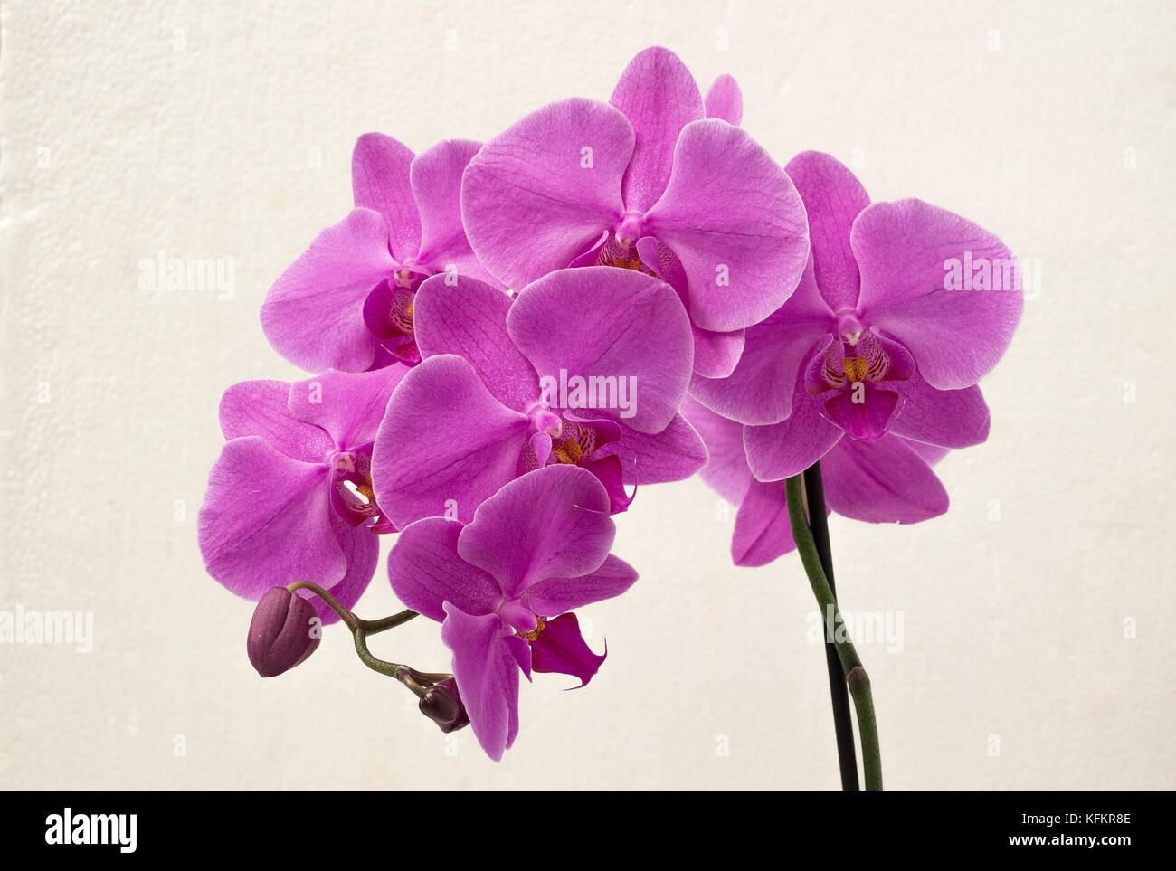 Magenta Moth Orchid flowering in a bathroom - Stock Image