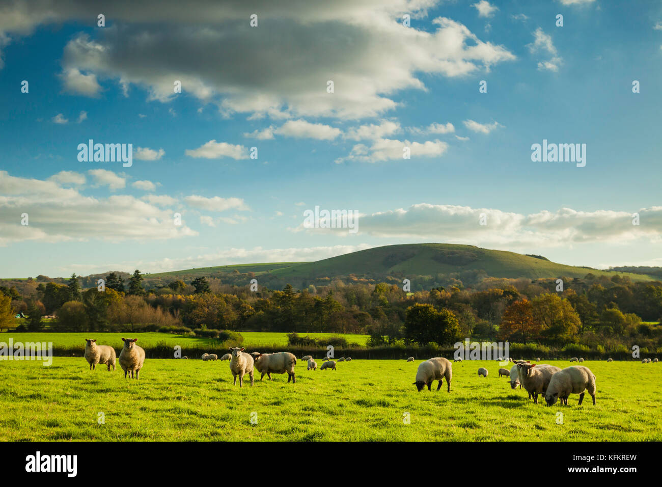 Sheep in South Downs National Park, West Sussex, England. Stock Photo
