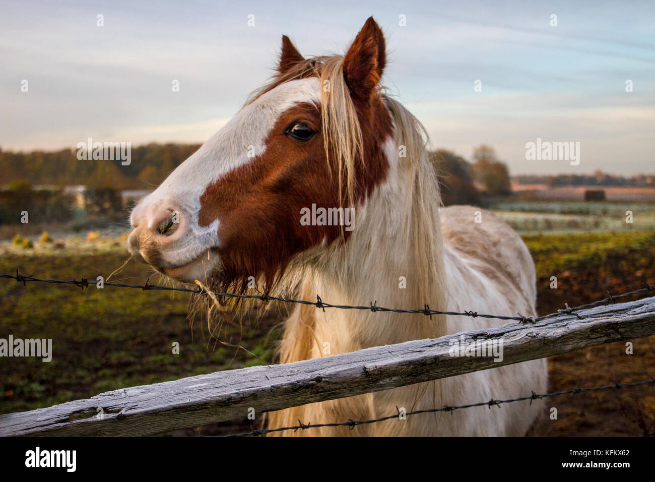 Southport, Lancashire, 30th October, 2017. UK Weather. Cold frosty winter morning for livestock as temperatures Stock Photo