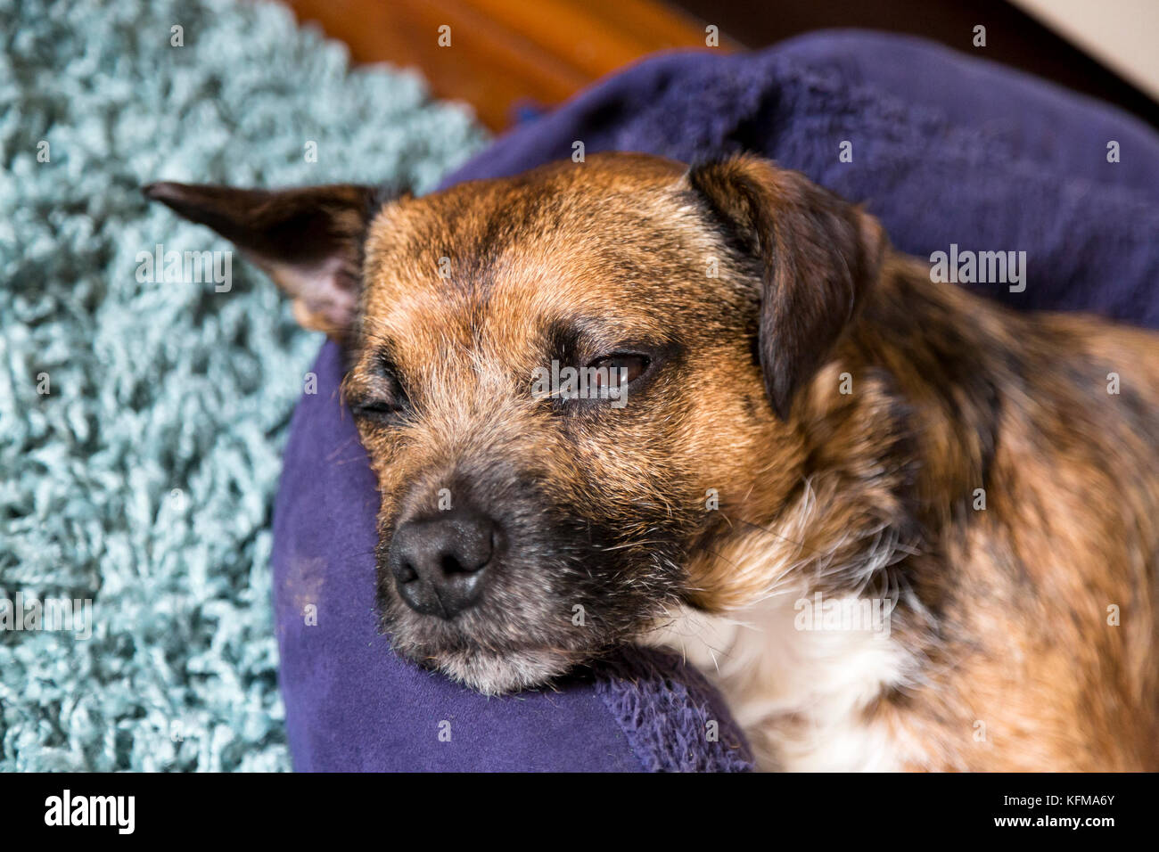 small terrier pet dog, snoozing on bed, eyes half open - Stock Image