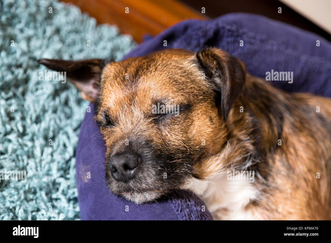 small terrier pet dog, sleeping on bed - Stock Image